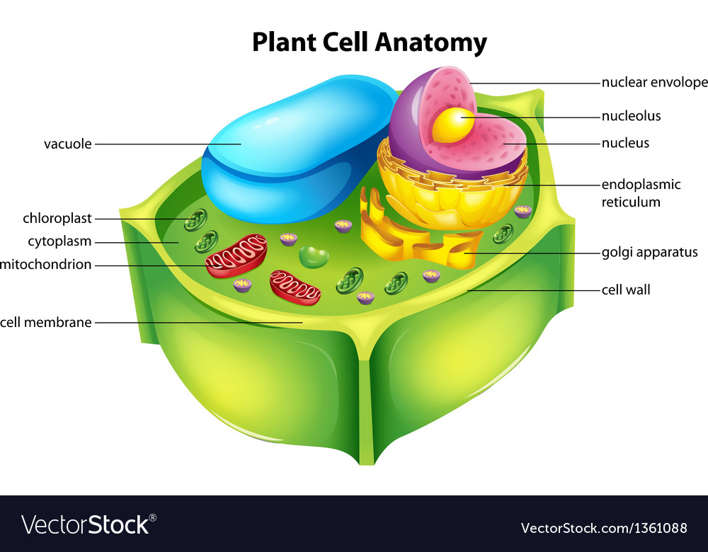 Plant cell anatomy Royalty Free Vector Image - VectorStock