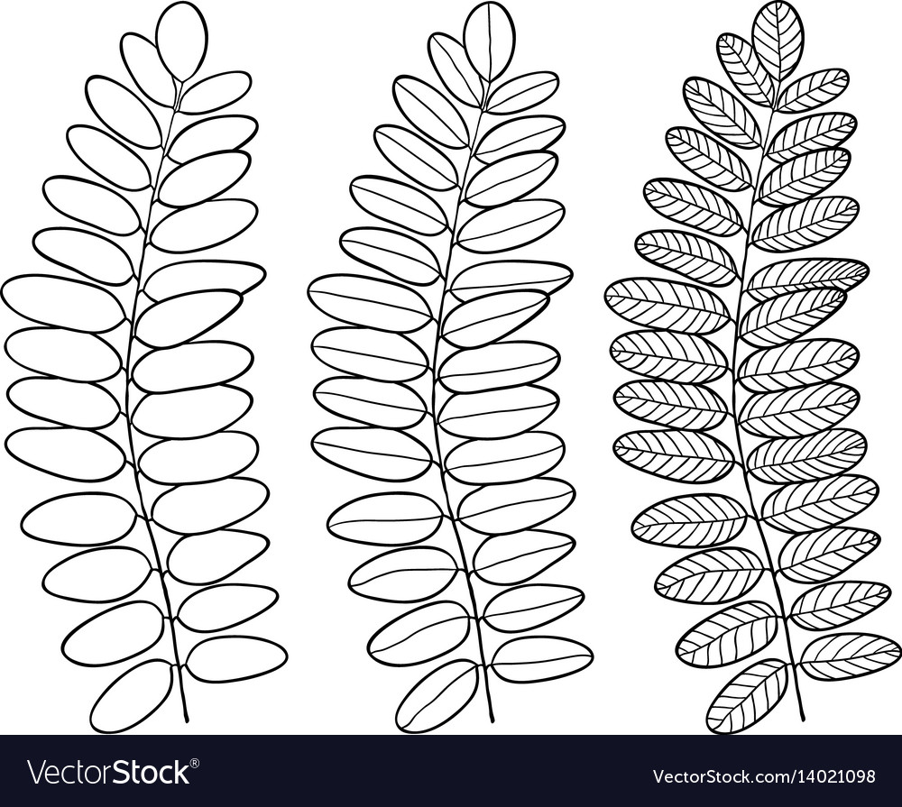 Acacia line art leaves isolated vector image