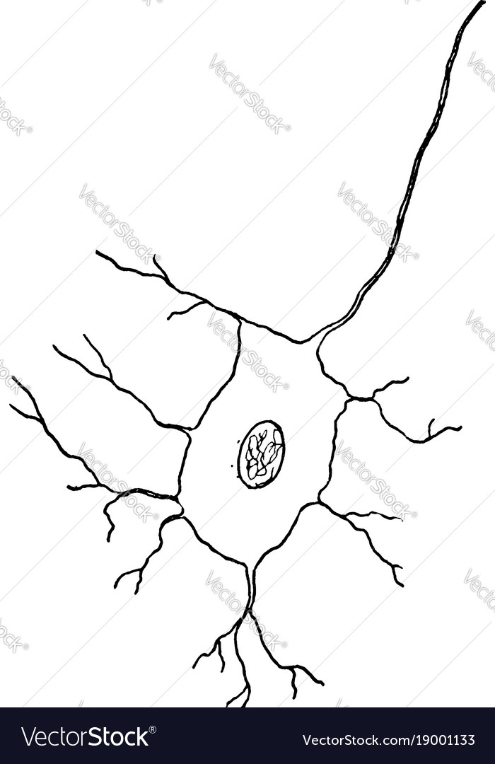 Nerve cell vintage Royalty Free Vector Image - VectorStock