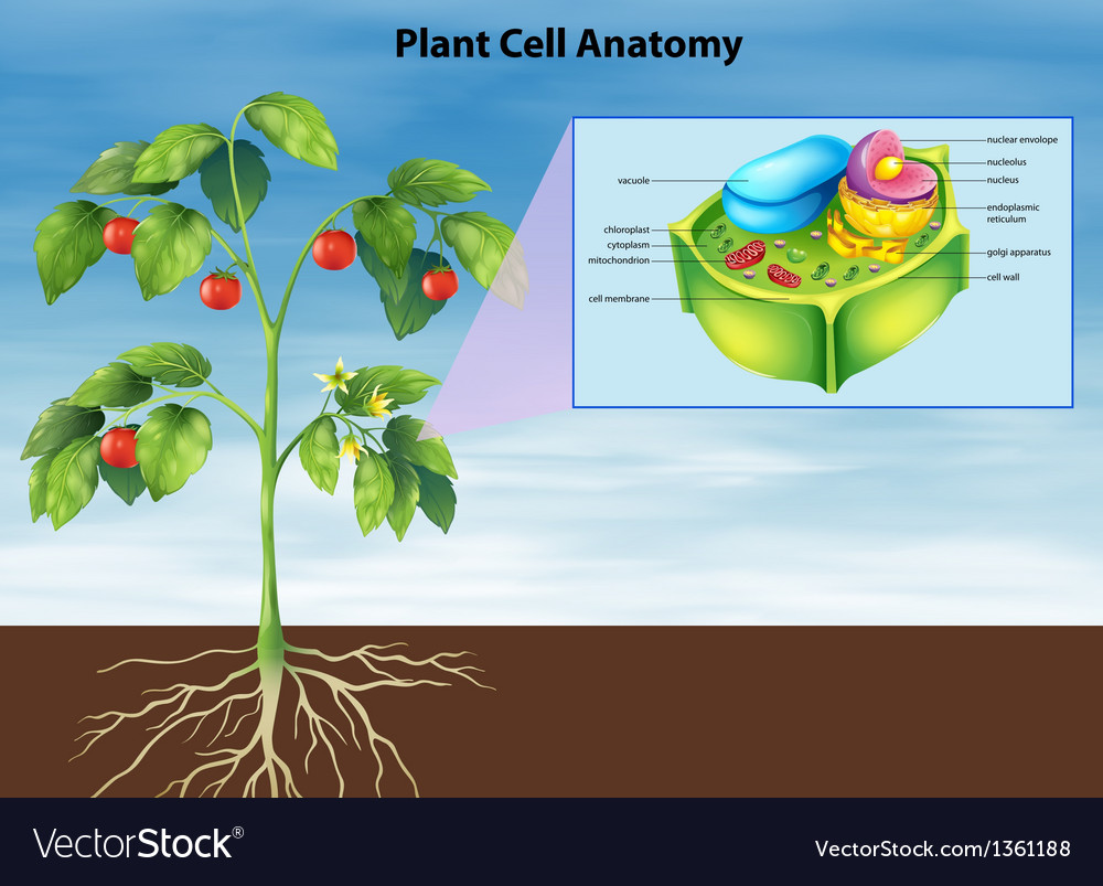 Anatomy plant cell Royalty Free Vector Image - VectorStock