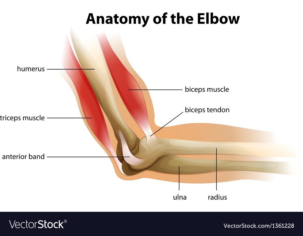 Anatomy human elbow Royalty Free Vector Image - VectorStock