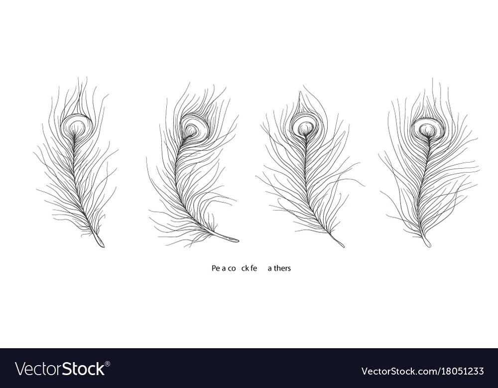 Pavonine feather peacock bird hand drawn