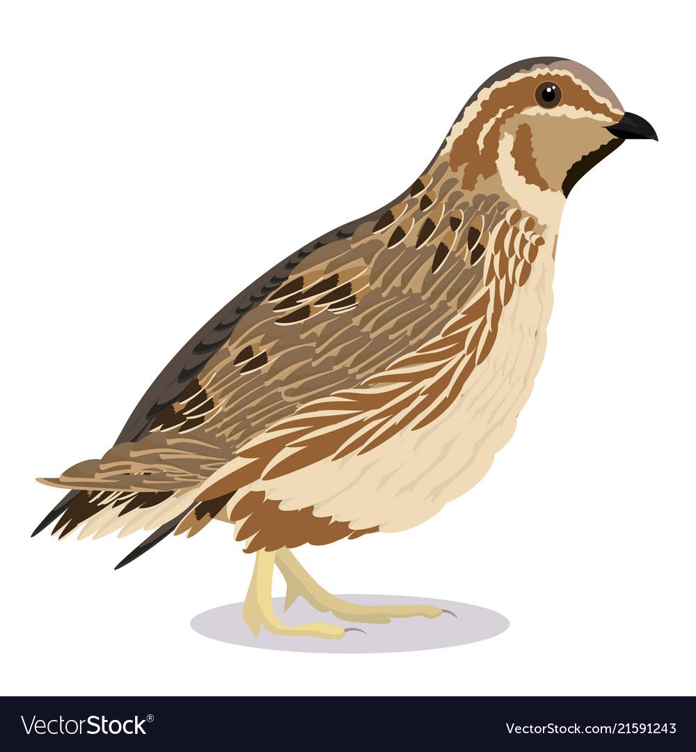 Common Quail Bird Royalty Free Vector Image Vectorstock
