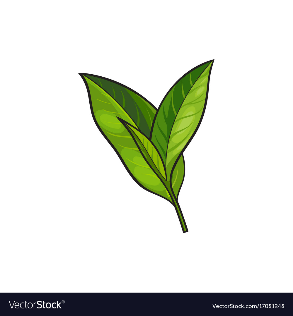sketch cartoon tea leaves branch isolated vector image rh vectorstock com cartoon leaves wind cartoon leaves texture