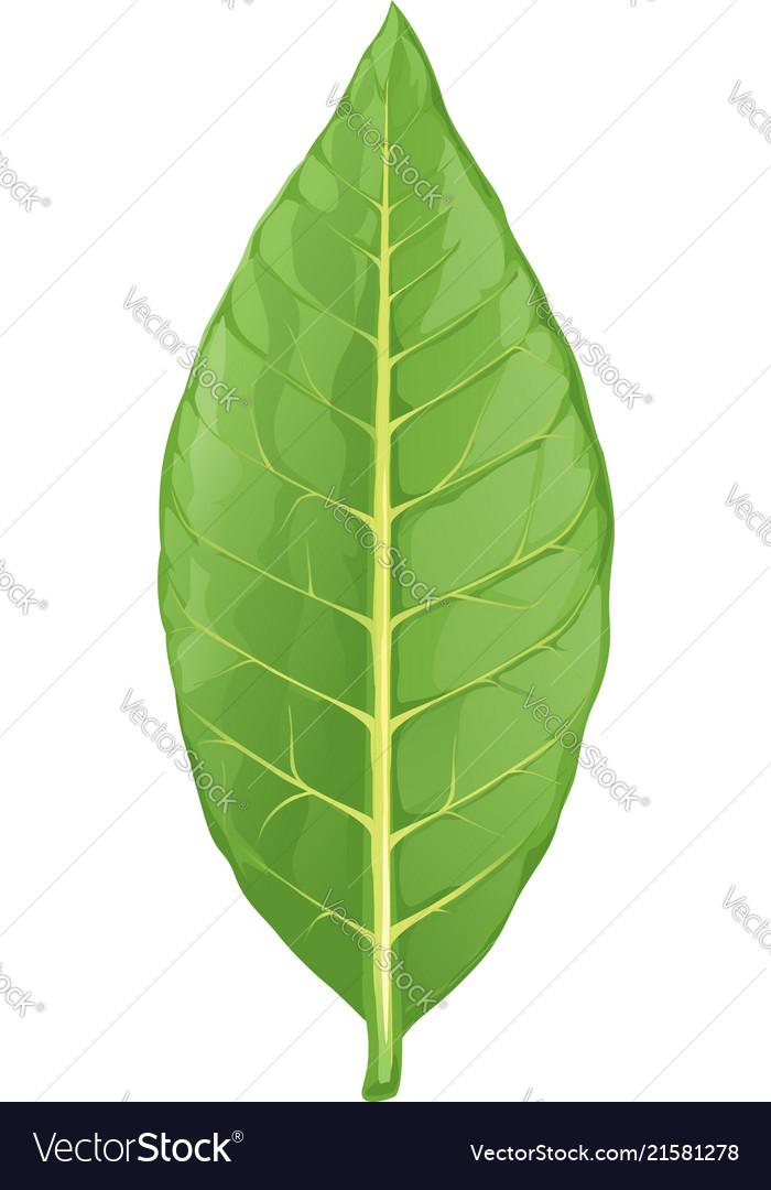 Tobacco leaf isolated