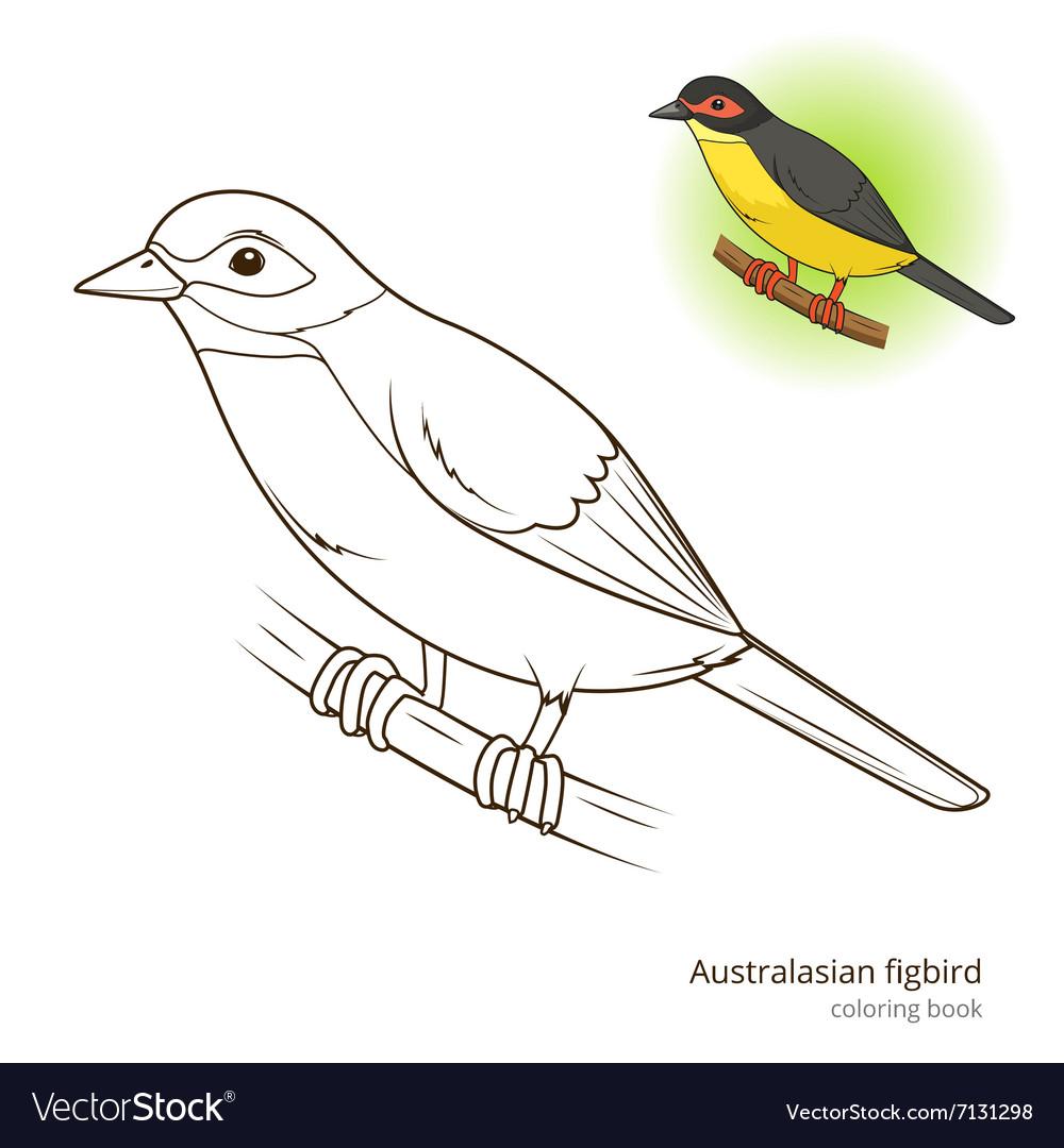 - Australasian Figbird Bird Coloring Book Royalty Free Vector
