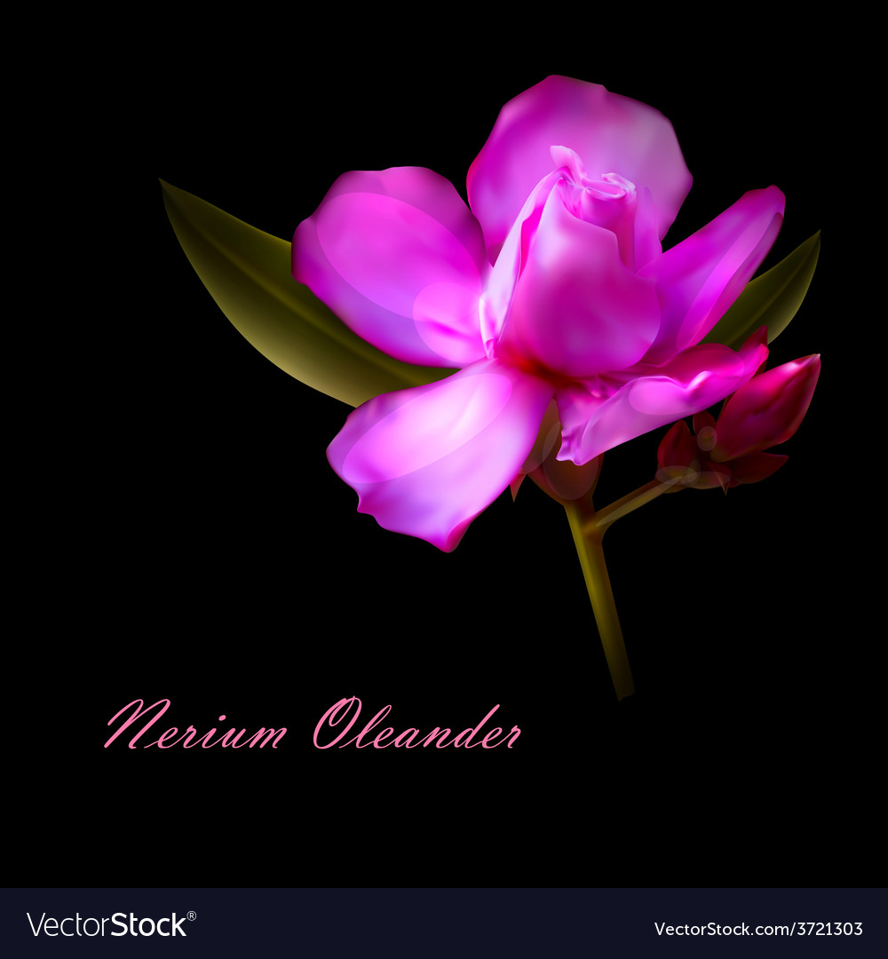 Isolated Nerium Oleander Flower Royalty Free Vector Image