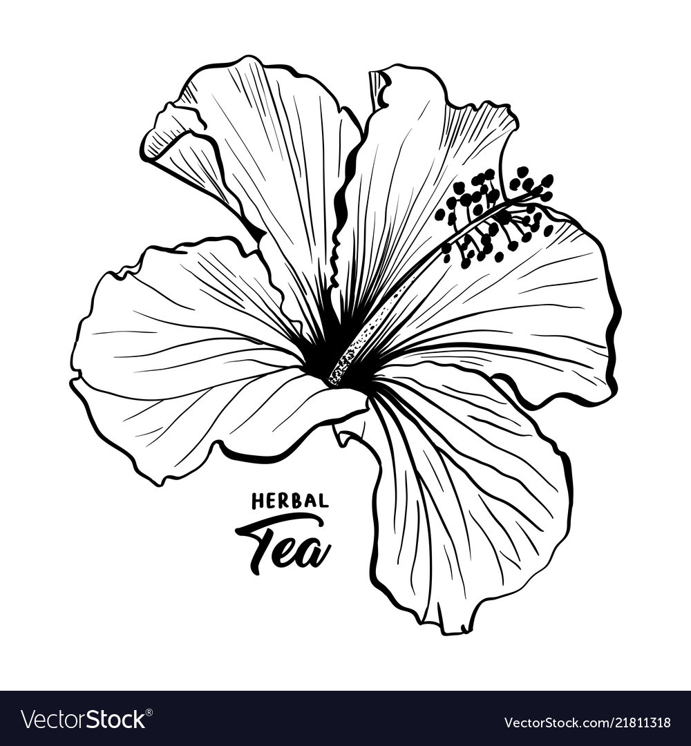 Hawaiian Hibiscus Fragrance Flower Or Mallow Rose Vector Image
