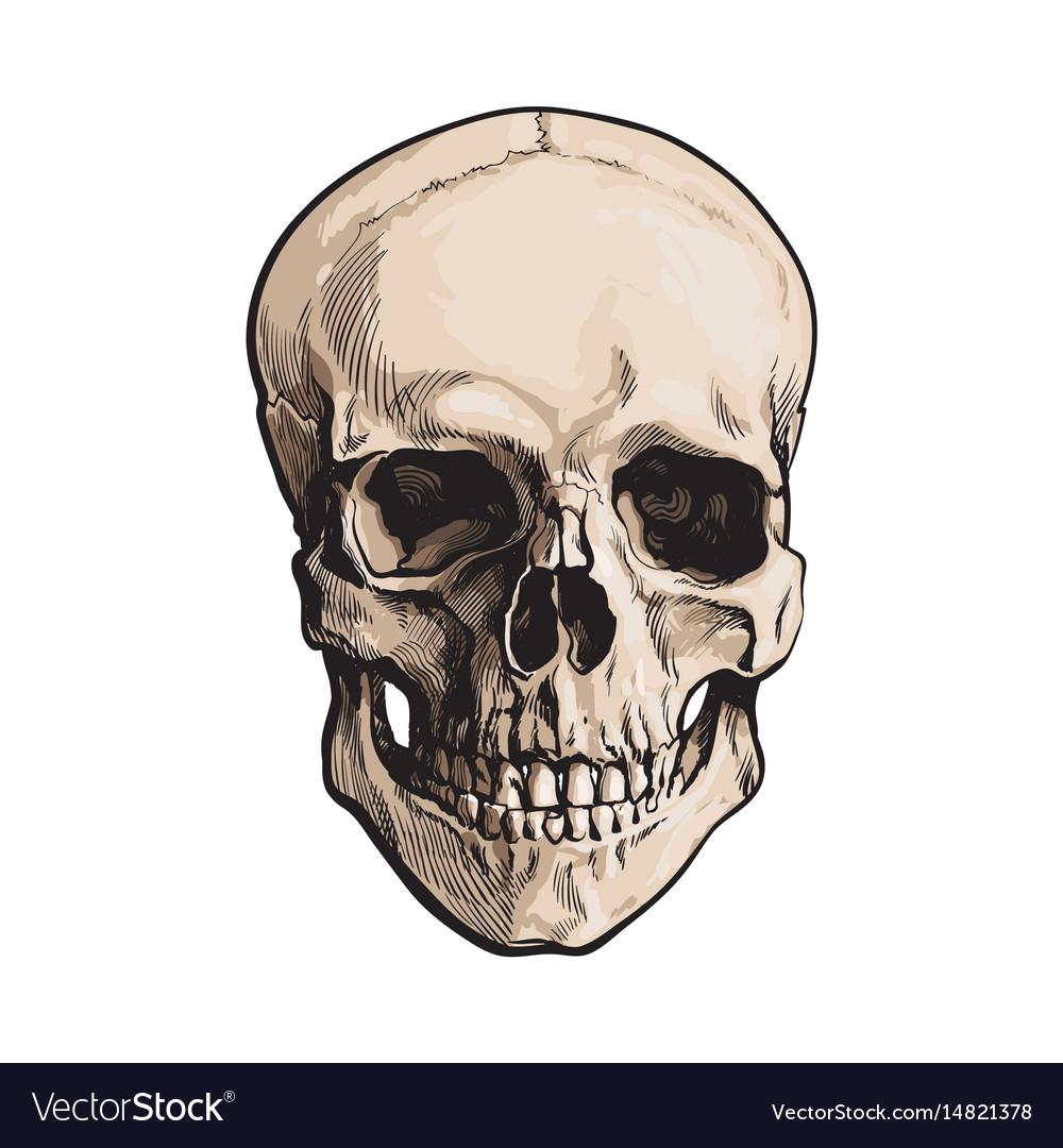 Hand Drawn Human Skull Anatomical Model Sketch Vector Image