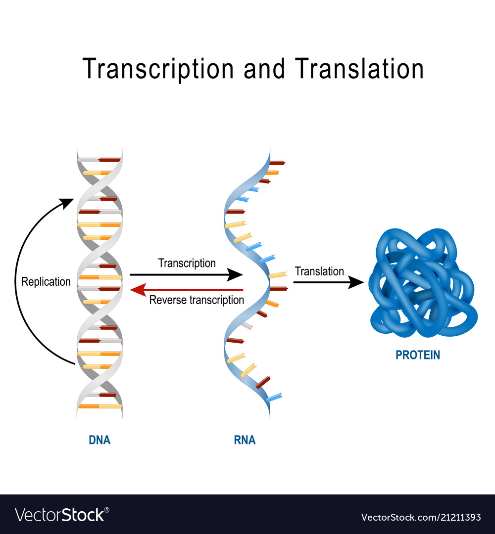 Dna replication protein synthesis transcription