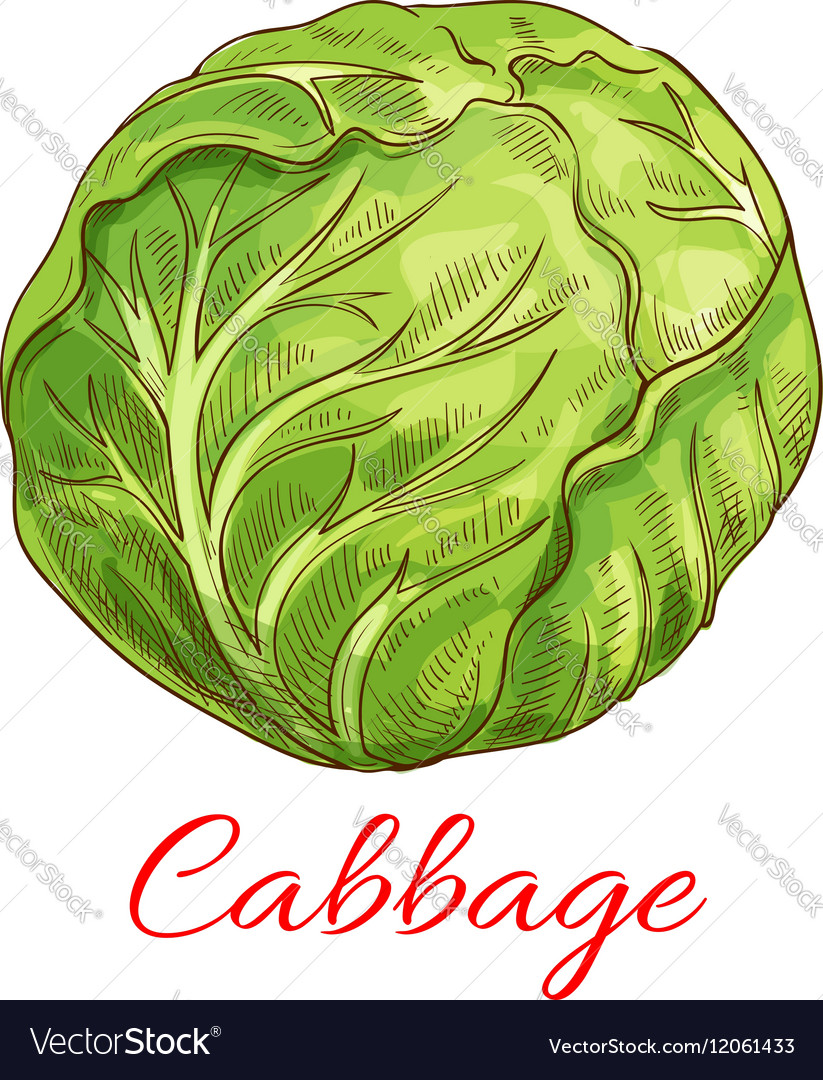 Cabbage vegetable isolated sketch