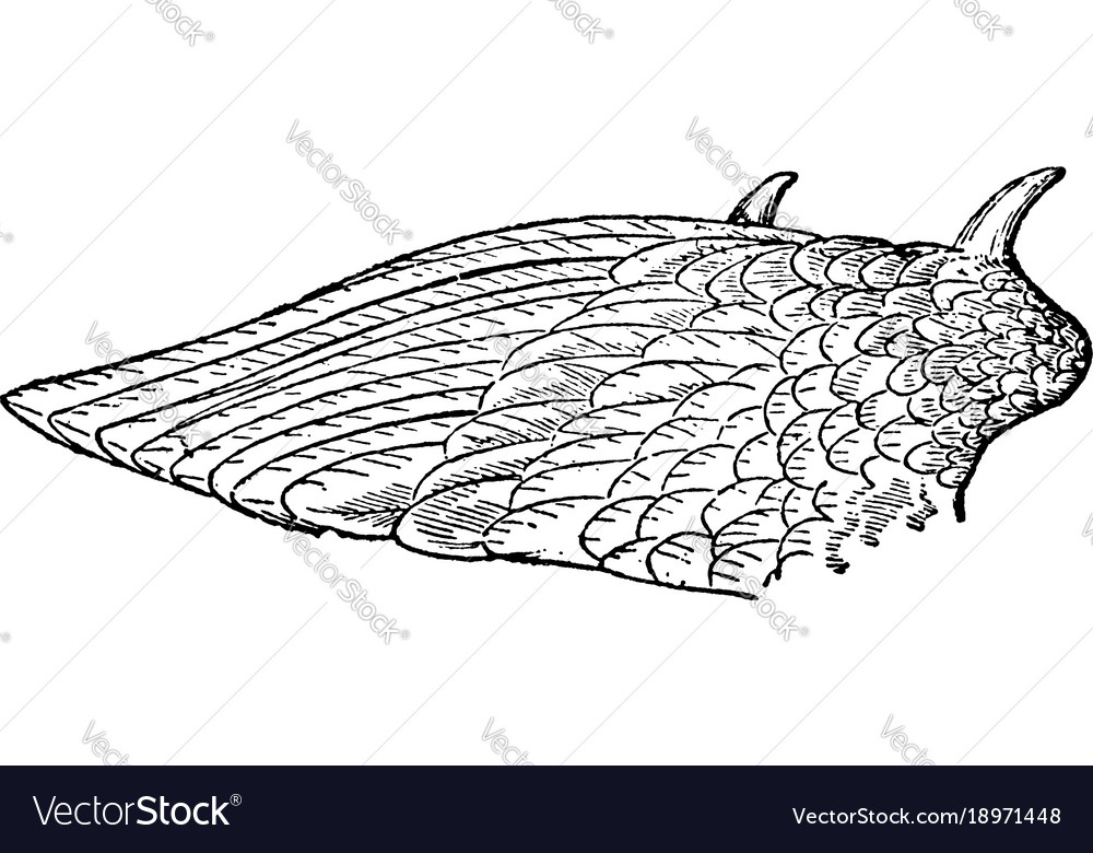 Wing of kamichi or crested screamer vintage vector image
