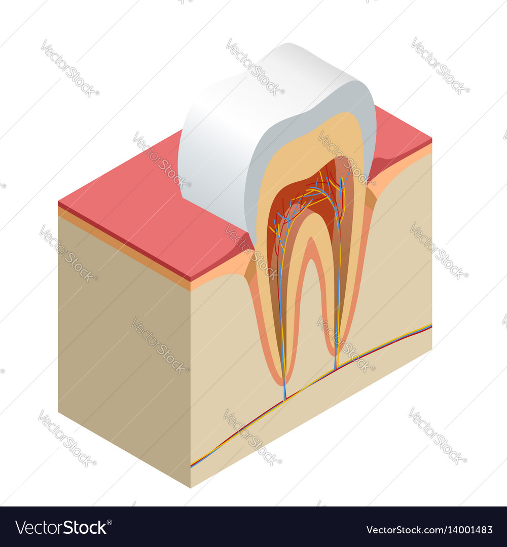 Isometric real tooth anatomy closeup cut away vector image