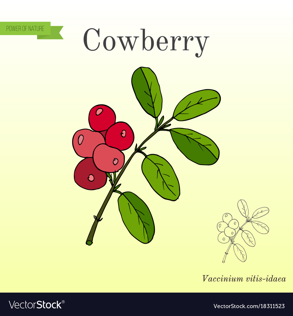 Wild forest ripe cowberries and leaves Royalty Free Vector