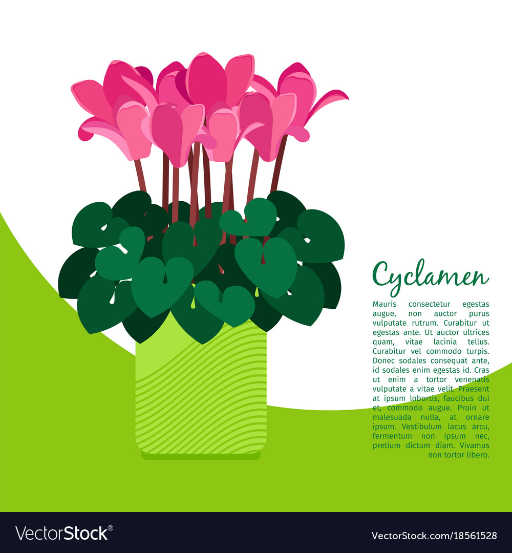 Cyclamen plant in pot banner vector image