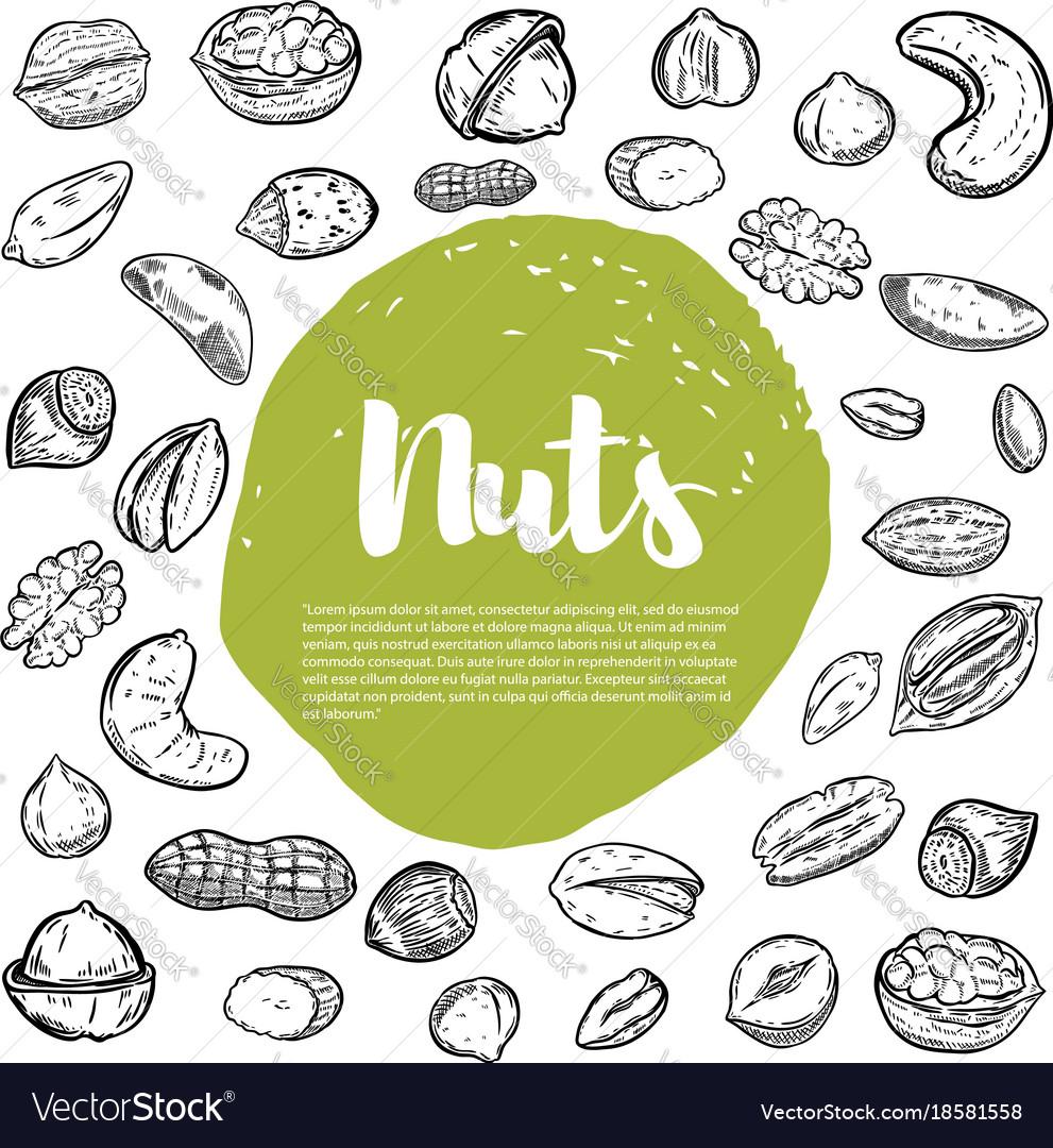 Cashew hazelnut walnut pistachio pecan nuts nuts vector image