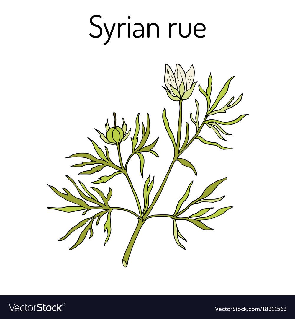 Syrian rue peganum harmala medicinal plant
