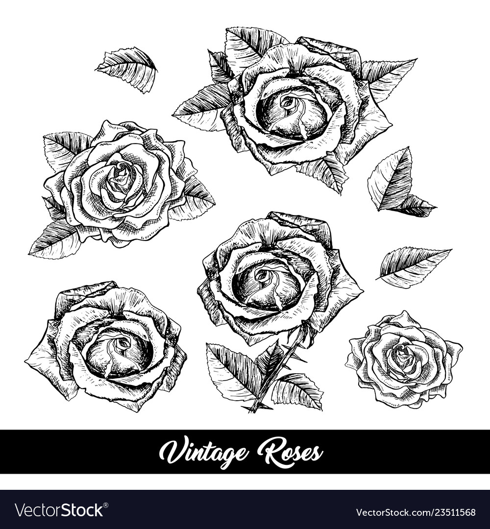 Roses hand drawn sketch set