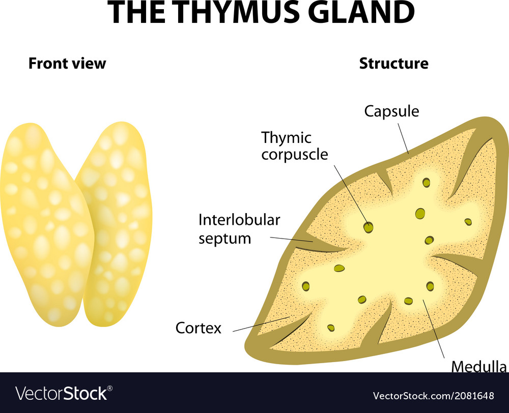Enchanting Anatomy Of Thymus Ornament - Physiology Of Human Body ...