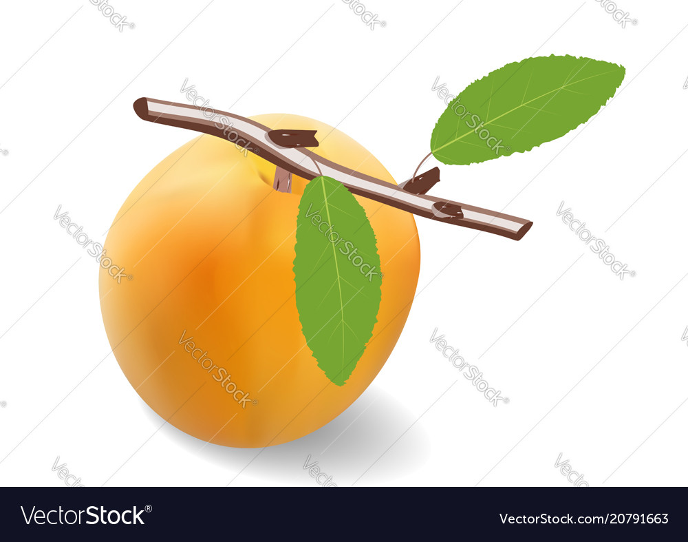 Apricot fruit with a branch and two leaves