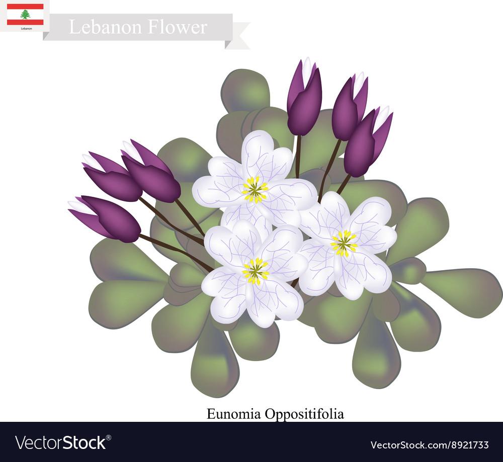 Eunomia Oppositifolia Native Flowers in Lebanon