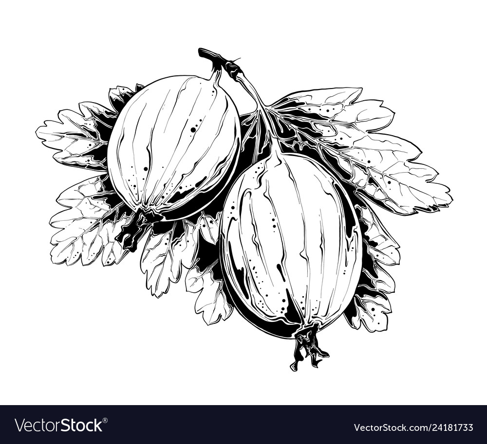 Hand drawn sketch of gooseberry in black isolated