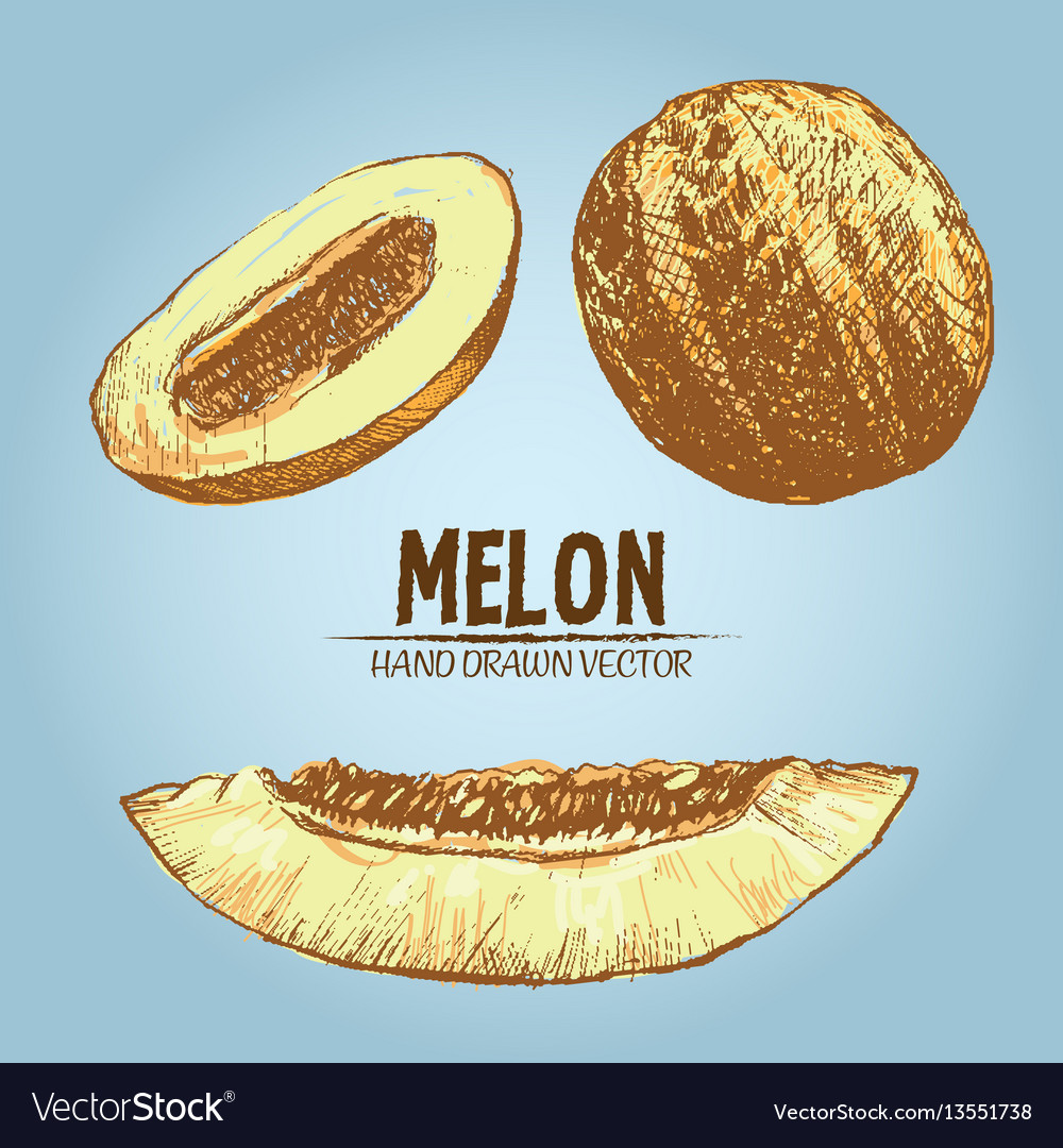 Digital detailed color melon hand drawn vector image