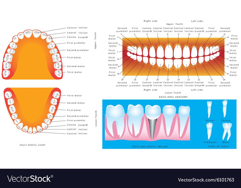 Anatomy of teeth Royalty Free Vector Image - VectorStock