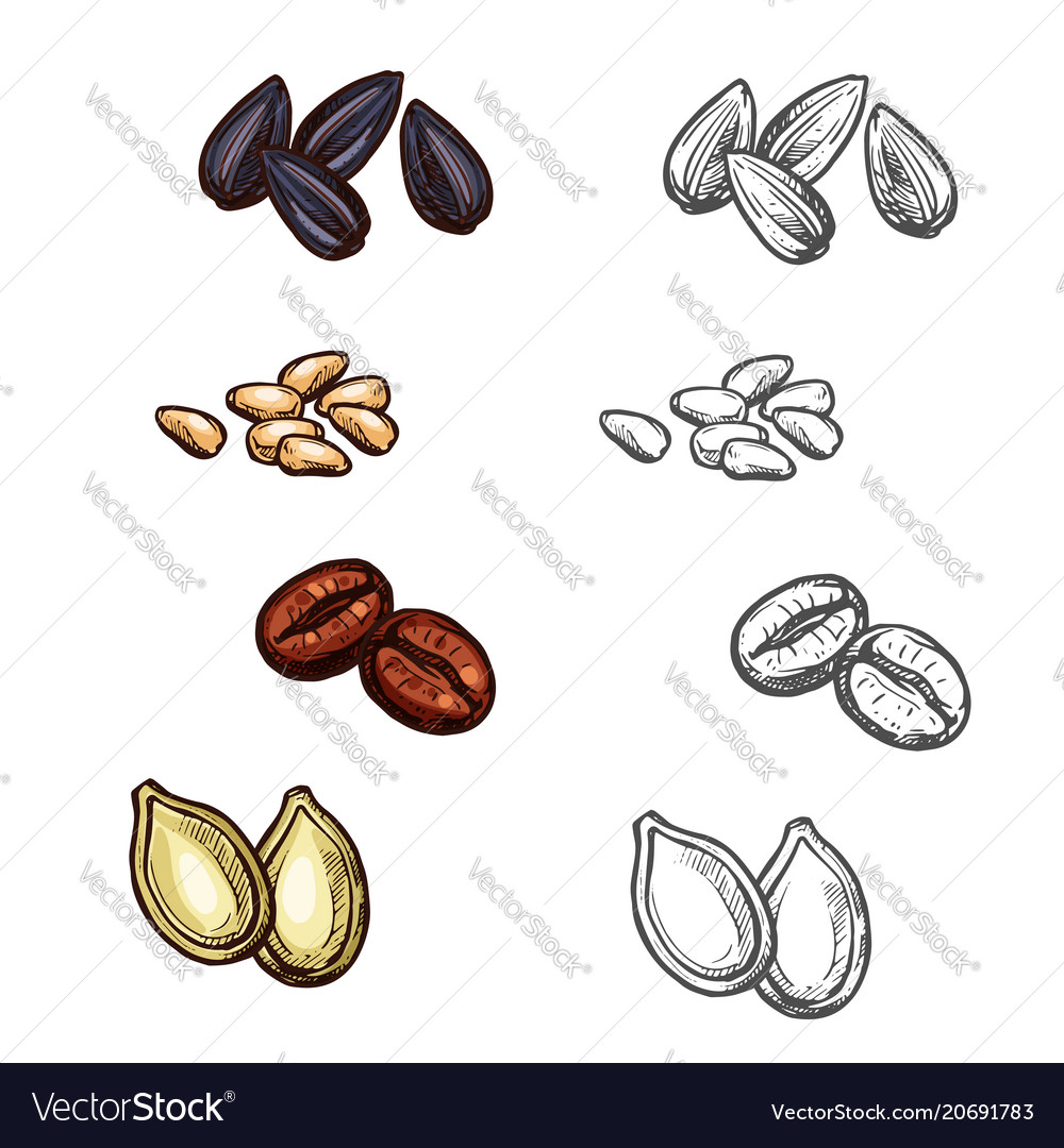 Nuts beans and seeds sketch icons vector image