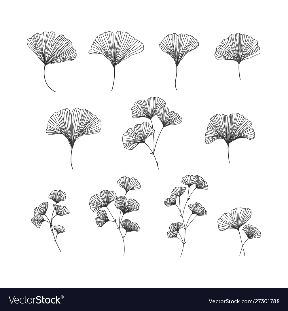 Hand drawn ginkgo biloba set on