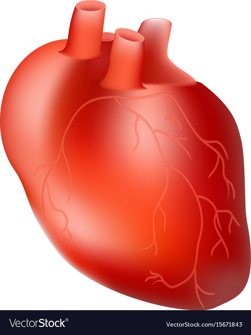Human Heart Internal Organ Anatomy Concept Vector Image