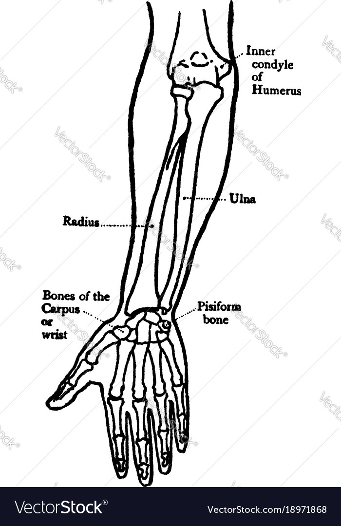 Front View Of The Bones Of The Forearm Vintage Vector Image
