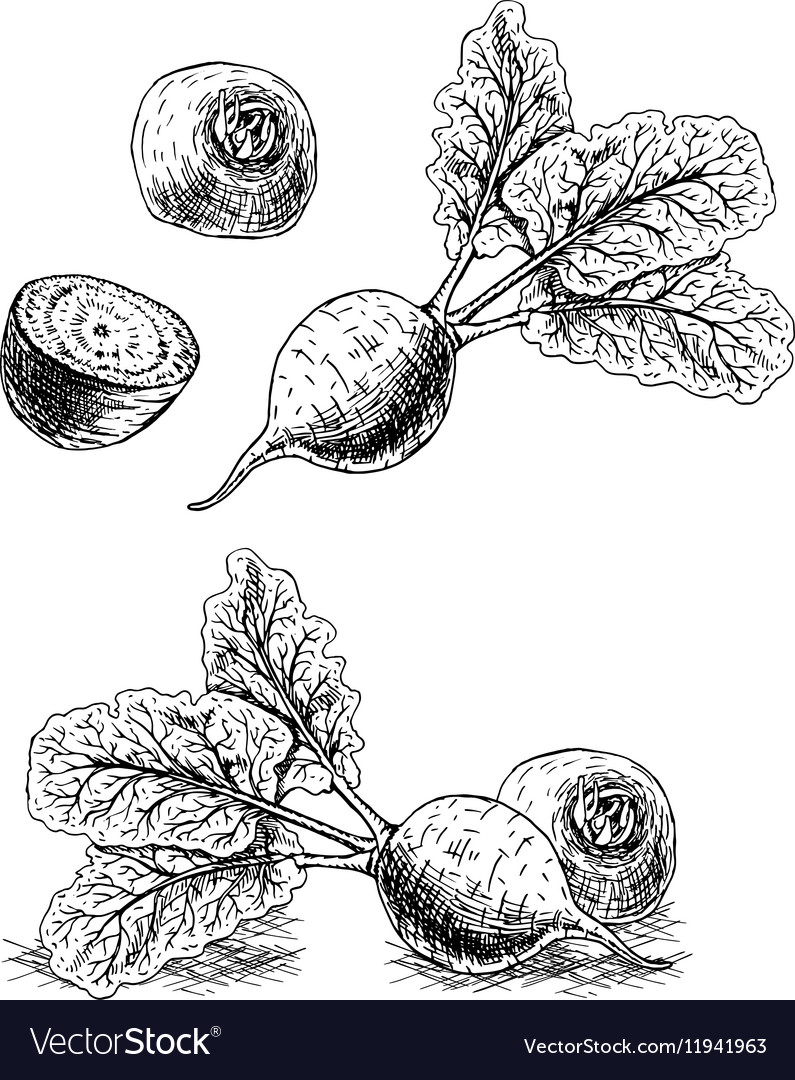 Hand drawn set of beets sketch