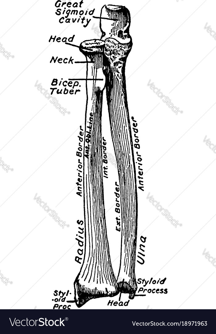 Ventral view of the bones of the forearm vintage Vector Image