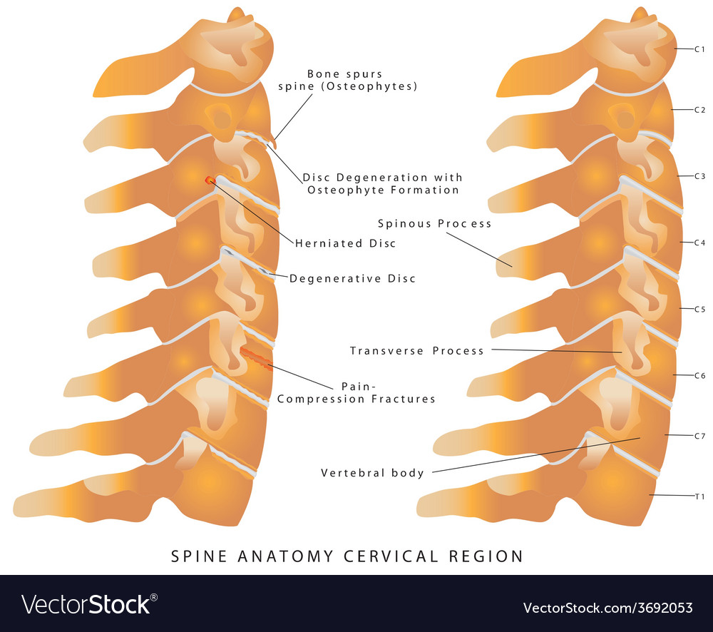 Cervical Spine Royalty Free Vector Image Vectorstock