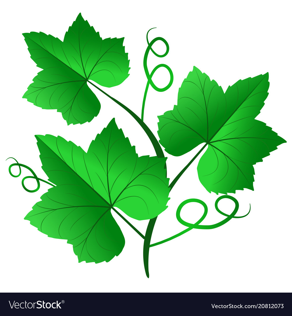 Green Grape Leaves Isolated On White Background Vector Image