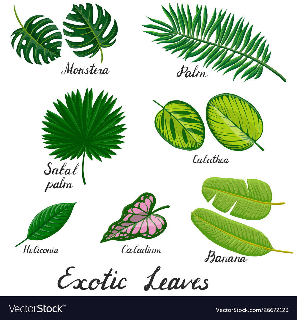 Drawing Tropical Leaf Royalty Free Vector Image Tropical leaves set, plants isolated on white background. vectorstock
