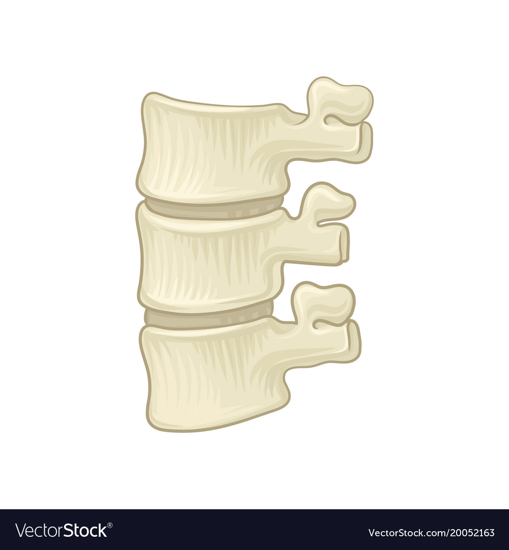 Anatomy Of Lumbar Spine Part Of Human Backbone Vector Image