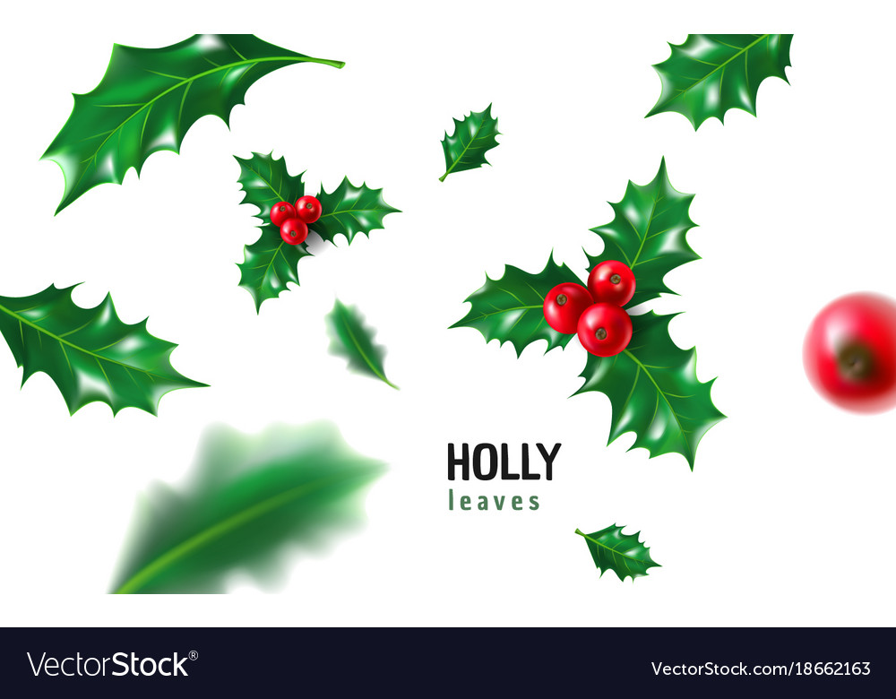 Realistic holly ilex with berry and leaves