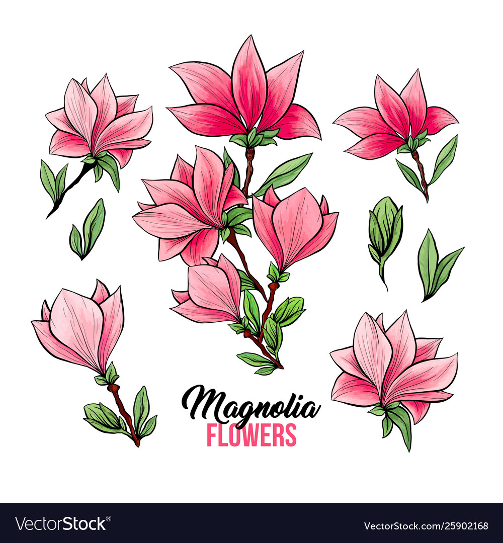 Magnolia flowers hand drawn set