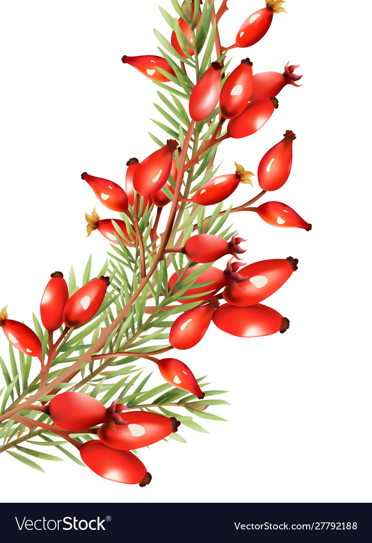 Red Berries With Fir Tree Leaves Royalty Free Vector Image