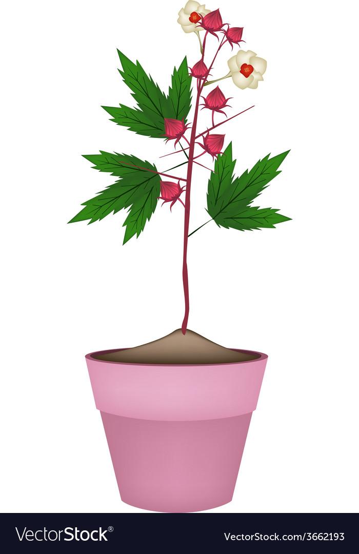 Hibiscus Sabdariffa Plant In Ceramic Flower Pots Vector Image