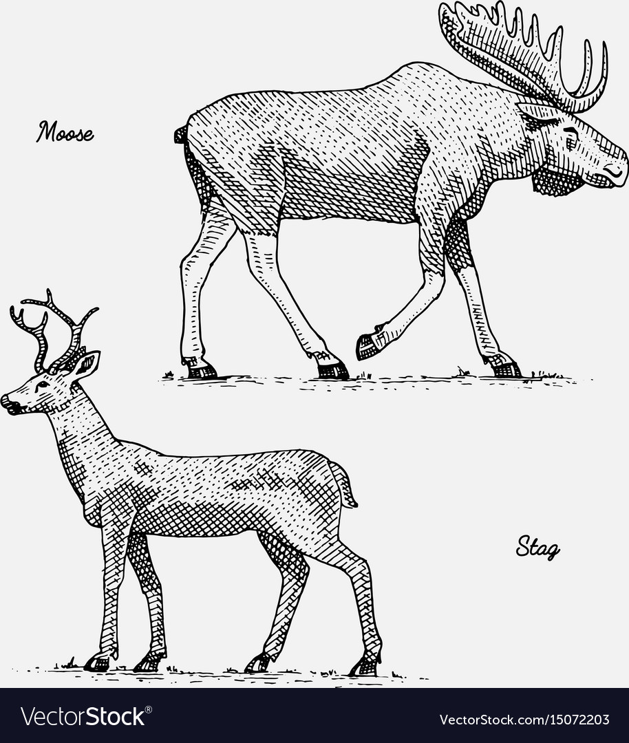 Moose or eurasian elk and stag or deer hand drawn