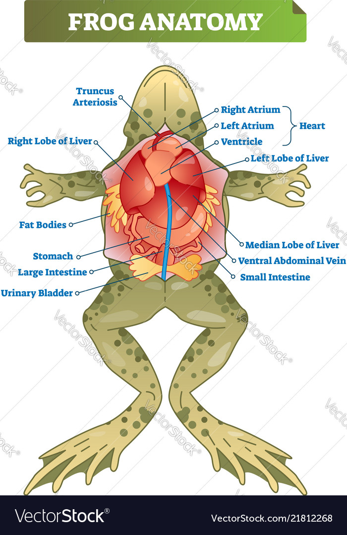 frog anatomy diagram labeled frog anatomy labeled scheme royalty free vector image  labeled scheme royalty free vector image