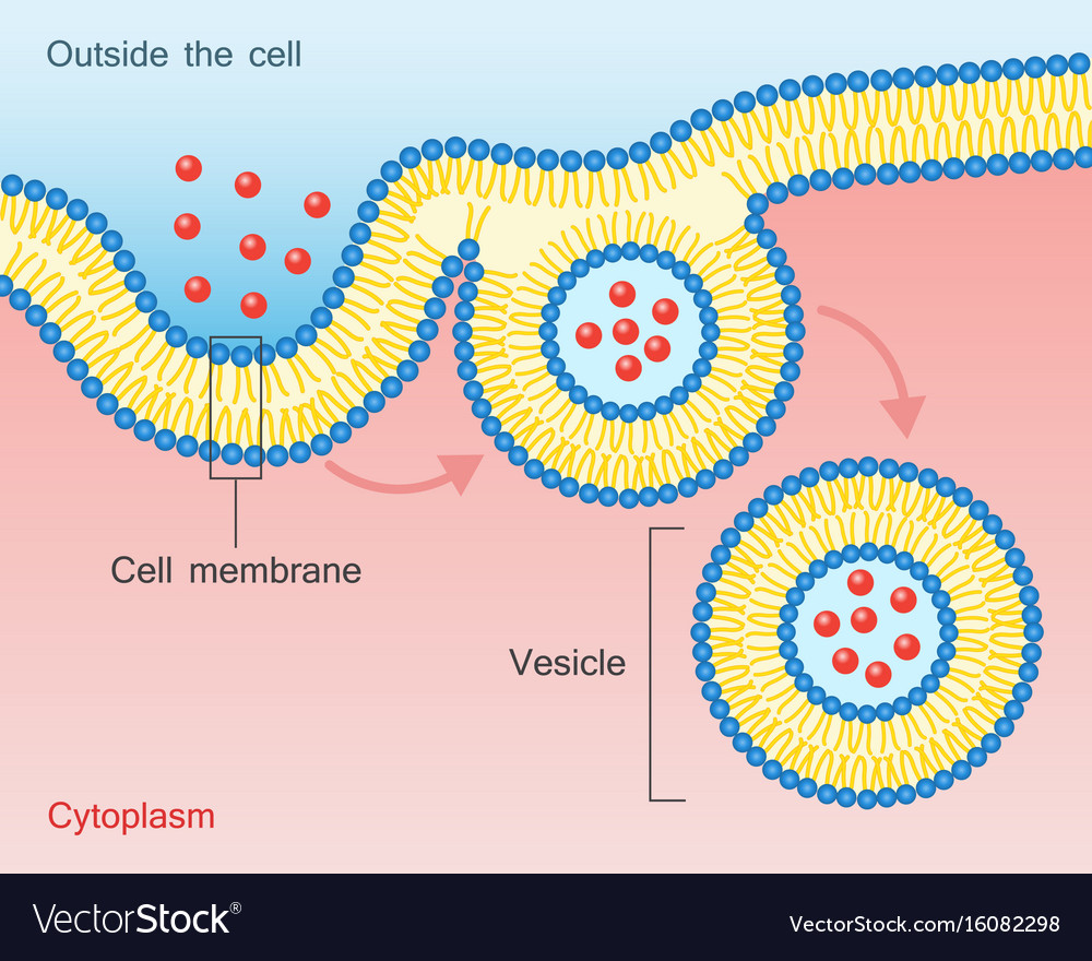 Endocytosis vesicle transport cell membrane Vector Image