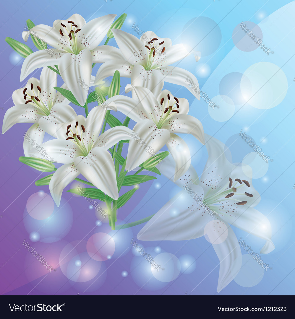 White Lily Flower Background Greeting Or Vector Image