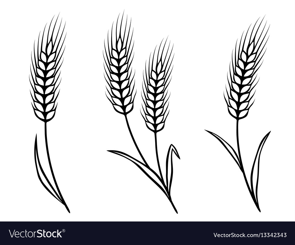 Isolated wheat ears vector image