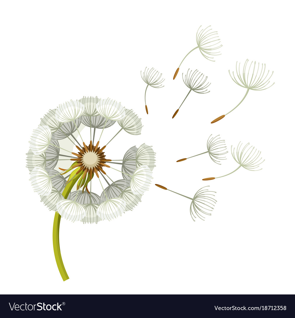 Blowing dandelion flower with fragile flying parts