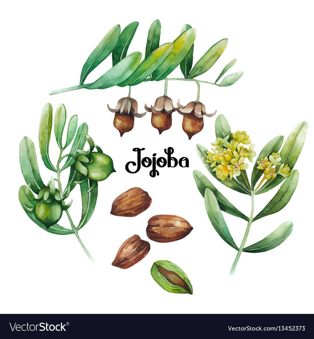 Watercolor jojoba plant