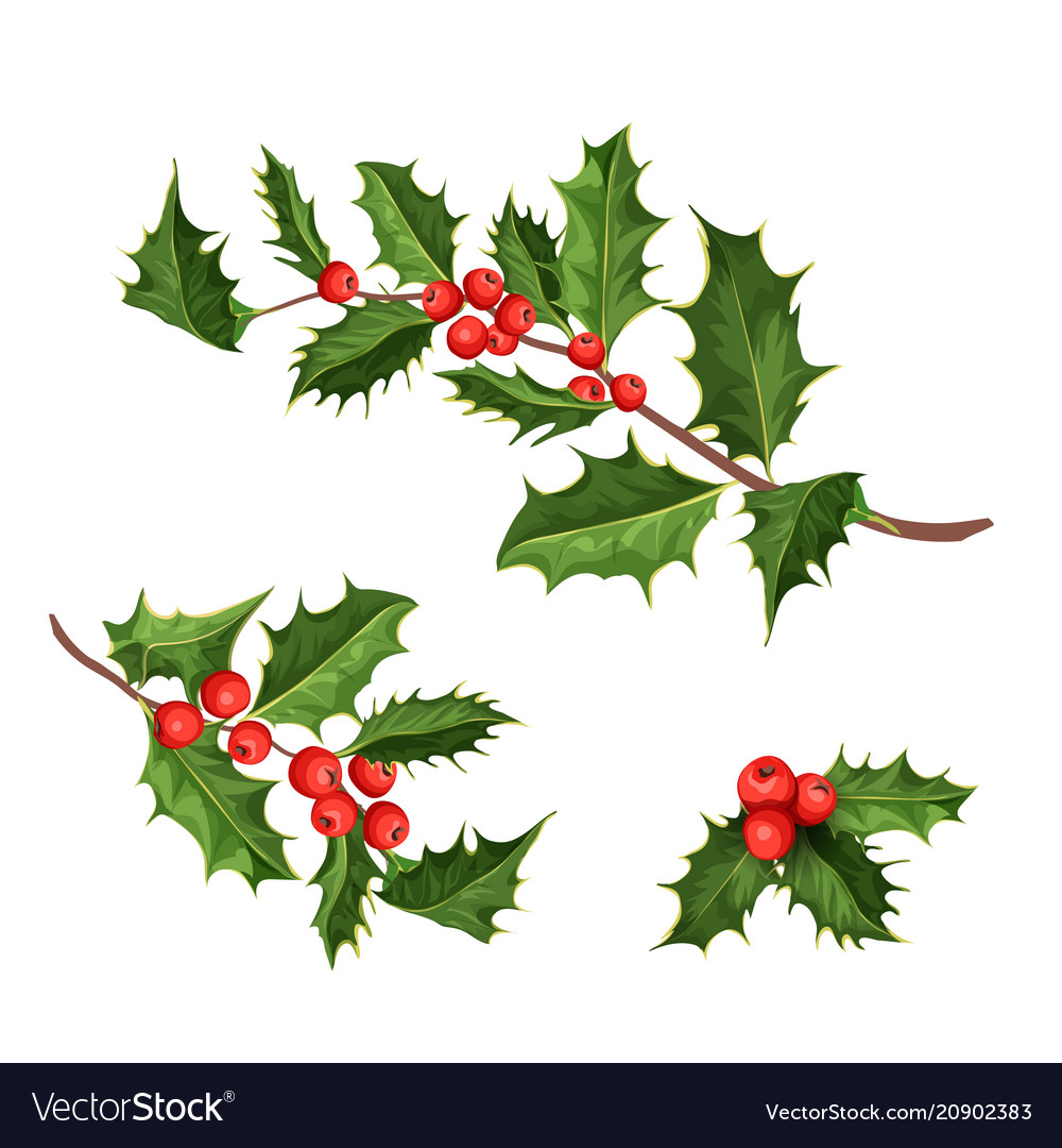 christmas holly mistletoe ilex leaves vector image - Mistletoe Christmas